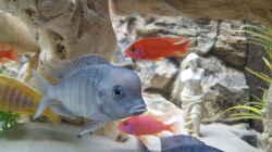 Aquarium Malawi Becken