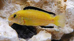 Lab. Caeruleus Yellow / M