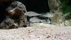 Besatz im Aquarium Becken 18329