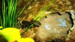 Besatz im Aquarium Grünes Tanganjika