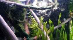 Grünes Pfennigkraut (Lysimachia nummularia) mittig im Bild