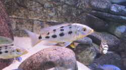 Fossochromis rostratus
