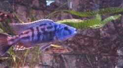 Tyrannochromis nigriventer Nord Dec.2014
