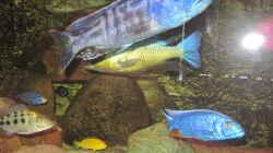 Tyrannochromis nigriventer Nord