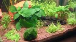 Pflanzen im Aquarium Betta Home