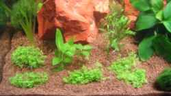 Hemianthus callitrichoides, Staurogyne repens