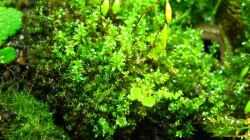 Pflanzen im Aquarium Brackwasser Paludarium Mangrovenkrabben