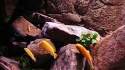 Besatz im Aquarium Mbuna Rocks