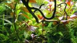 Pflanzen im Aquarium mp Aquarium