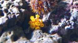 Tubastrea faulkneri - Orange-gelbe Kelchkoralle