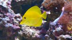 Zebrasoma flavescens - Zitronenflossen-Doktorfisch Hawaii Doktor