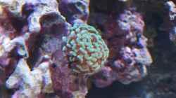 Euphyllia paraancora - Hammerkoralle