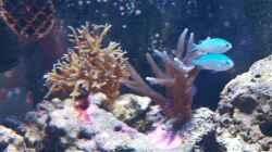 links: Seriatopora hystrix - Christusdorn-Koralle oder Stachelbuschkoralle; rechts: