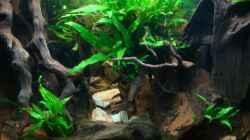 Pflanzen im Aquarium Nannacara anomala