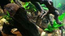 Dekoration im Aquarium Nannacara anomala