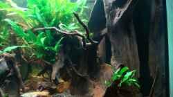 Aquarium Nannacara anomala