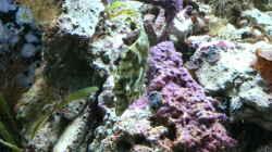 Der wohl urigste Fisch, der Feilenfisch. Innerhalb von 2 Wochen gibt es keine Glasrosen