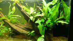 Pflanzen im Aquarium Naturaquarium
