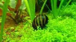 Besatz im Aquarium Naturaquarium