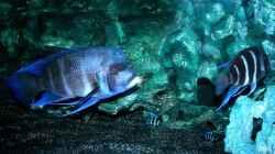 Blue Samazi mit Nachwuchs