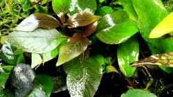 Hygrophila corymbosa kompakt
