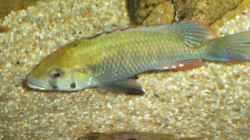 Astatotilapia calliptera Male