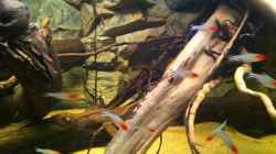 Besatz im Aquarium Amazonas In this river...