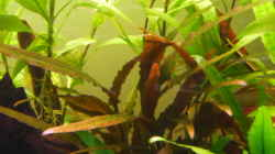Cryptocoryne spec. Indonesia 13.04.2011