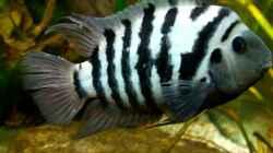 Amatitlania siquia(Standortvariante:`Nicaragua`)-Männchen