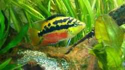 `Cichlasoma` salvini-Weibchen mit Nachwuchs