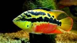 `Cichlasoma` salvini (Standortvariante:`Rio Almoyola`)-Weibchen