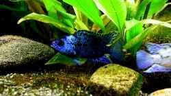 Rocio octofasciatum var. Electric Blue Jack Dempsey