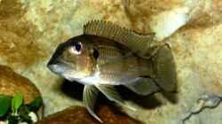 Gnathochromis Permaxillaris Weibchen