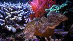 Besatz im Aquarium Riff@Home
