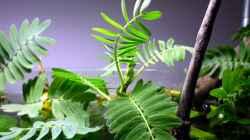aeschynomene fluitans (mit geöffneten Blättern)