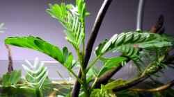 aeschynomene fluitans (mit geschlossenen Blättern)