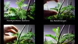 siehe Pflanzenbeschreibung und Foto
