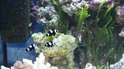 3 Ocellaris black - Falscher Anemonen Clownfisch