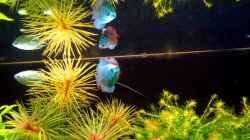 Besatz im Aquarium Saphir