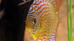 Besatz im Aquarium Diskus-Tank