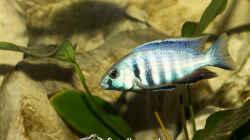 Placidochromis Electra (m)