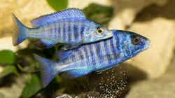 Placidochromis Phenochilus Mdoka White Lips (m + w)?