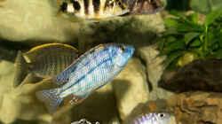 Protomelas Taeniolatus Fire Blue (m)