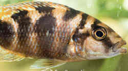 Placidochromis Milomo Red (m)