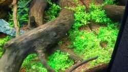 Hemianthus callitrichoides `cuba`
