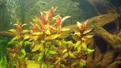 Pflanzen im Aquarium Sumatra