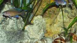 Von links: Paracyprichromis nigripinnis, Cyprichromis leptosoma Blue Flash, Altolamprologus