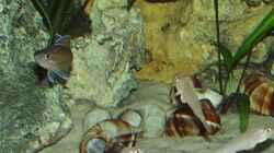 Von oben: Cyprichromis leptosoma Blue Flash, Paracyprichromis nigripinnis, Enantiopus