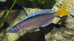 Cyprichromis leptosoma Blue Flash
