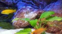 Besatz im Aquarium Malawi 240 mbuna